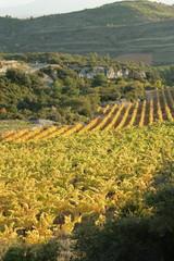 Vigne dans le minervois,Languedoc