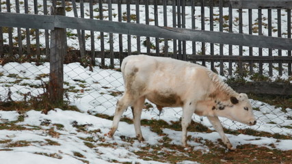 Cows in the village winter