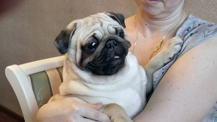 The video shows dog-pug sits in the hands of the mistress