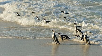African penguin.