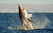 Great White Shark (Carcharodon carcharias) in an attack  - 72283249