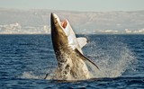 Great White Shark (Carcharodon carcharias) in an attack