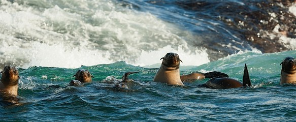Seals swiming in ocean .