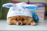 Pomeranian puppy in a funny bunny suit - 72283853
