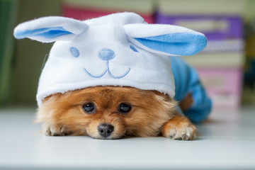 Pomeranian puppy in a funny bunny suit
