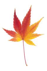 秋色モミジ
