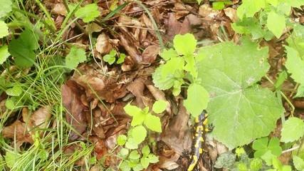 salamander hiding in foliage