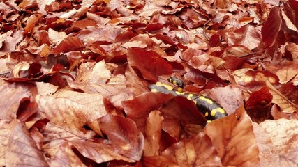 Salamander crawling on the leaves brown in the mountain forests