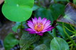 Beautiful colorful lotus