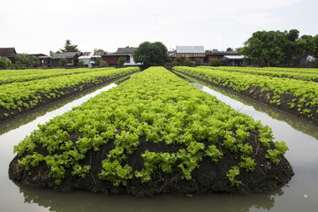 Green oak vegetable bed in Rachaburi, Thailand
