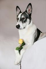 Malamute with Yellow Rose