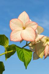 Pink  Dona Luz ( Queen Sirikit ) Flower with sky