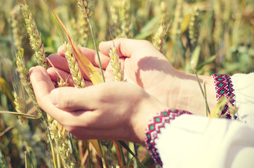 Wheat ears in the hands.