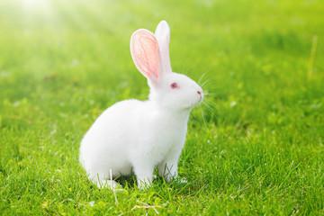 White rabbit sitting in grass