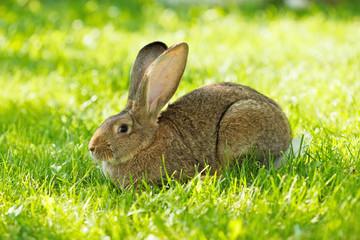 Brown rabbit sitting in grass