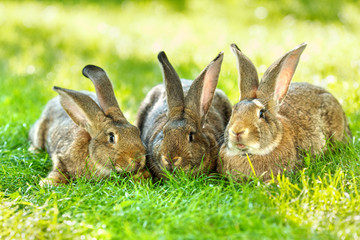 Three brown rabbits