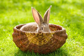 Brown rabbit hiding in basket