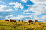Herd of cows grazing on field