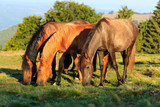 Fototapeta Herd of wild horses grazing