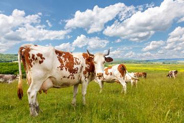 Cow herd on summer field