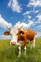 Piebald cow on the field