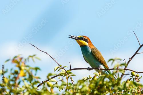 Foto op Plexiglas Bee European bee-eater (Merops apiaster)