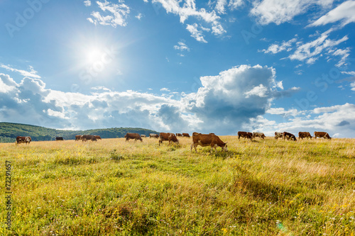 Fotobehang Koe Herd of cows grazing on sunny field