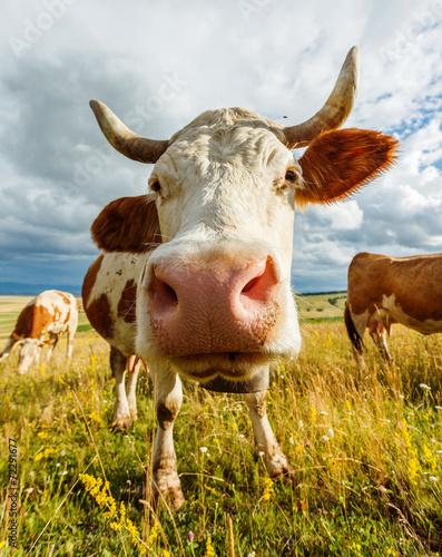 Plexiglas Koe Curious cow sniffing