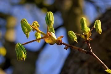 Krajobraz wiejski, wiosna, kwitnienie kasztanów