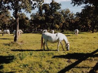 Cavalli lipizzani