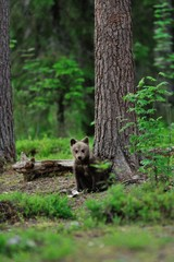 Brown bear cub sitting in the forest