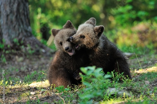 canvas print picture Brown bear cubs playing in the forest