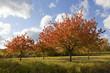 canvas print picture - Kirschbäume im Herbstkleid