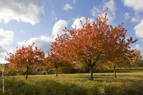 canvas print picture Kirschbäume im Herbstkleid