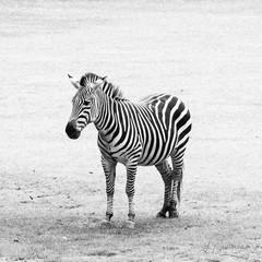 Black and white striped zebra