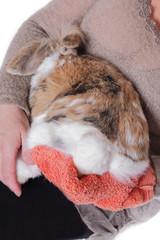 femme lavant lapin bélier nain