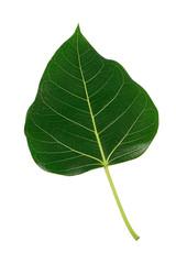 Bodhi green leaf isolated