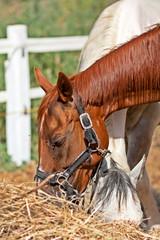 Coppia di cavalli mangiano il fieno