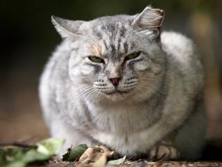 白い太った猫