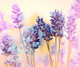 Fototapety Beautiful lavender