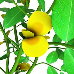 Peanut or groundnut (Arachis hypogaea