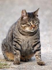 よく肥えた猫