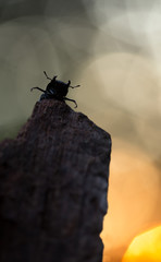 Lesser stag beetle, Dorcus parallelipiedus sitting on wood