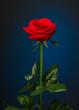 Obrazy na płótnie, fototapety, zdjęcia, fotoobrazy drukowane : one red rose on black background
