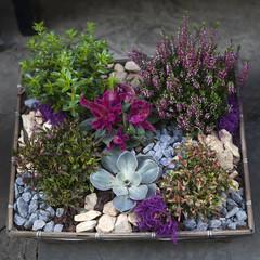 big purple rosette echeveria with simple heather
