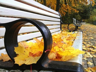 A bench covered with yellow maple foliage in the autumn park