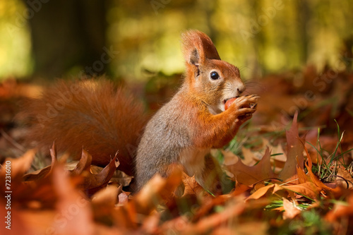 Deurstickers Eekhoorn Squirrel, Autumn, nut and dry leaves