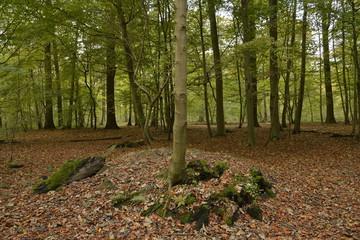 Jeune hêtre poussant sur une souche en forêt de Soignes