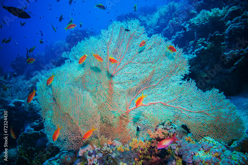 Giant fan (gorgonian) in the current - 72324430