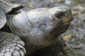 Turtle - Tortoise